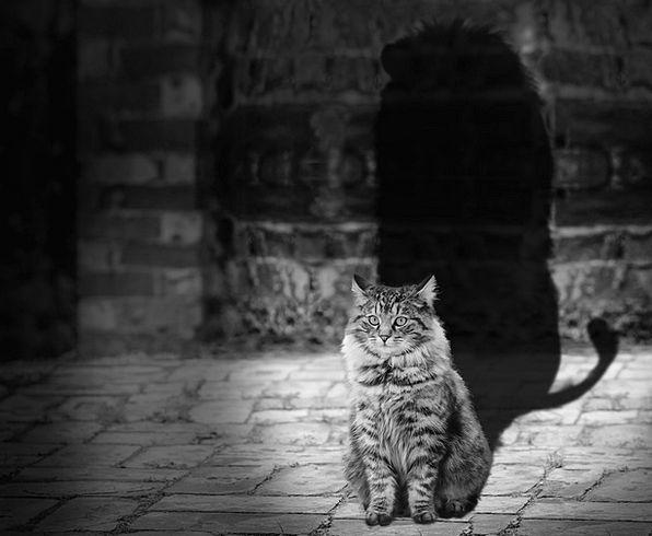Cat Feline Shadow Gumshoe Lion Mane Carnivore Fles