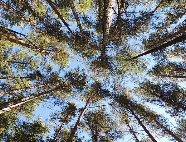 Pine Long Landscapes Woodland Nature Trees Plants