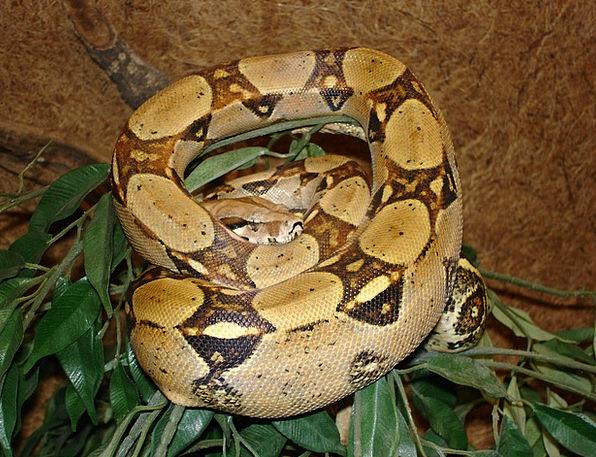 Red Tailed Boa Serpent Boa Constrictor Snake Boa C