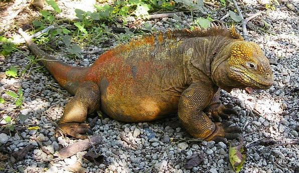 Iguana Reptile Lizard Galapagos Preserve Islands P