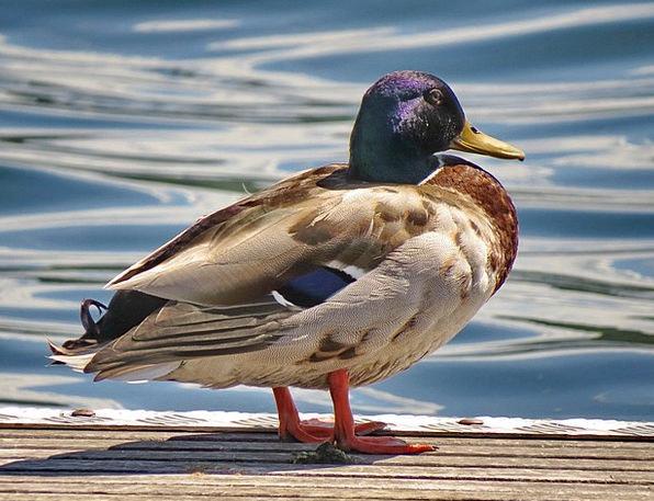 Mallard Freshwater Bird Fowl Lake Nature Countrysi