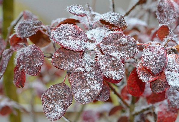 Judas Tree Frost Leaves Greeneries Hoarfrost Close