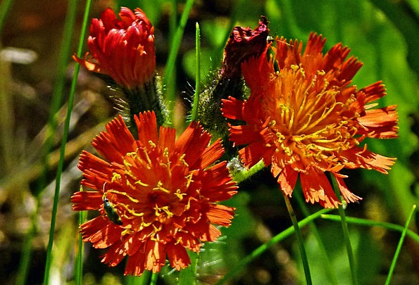 Orange Red King Devil Landscapes Nature Wildflower