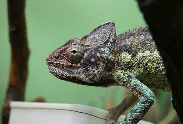 Chameleon Trimmer Drink Nourishing Food Terrarium