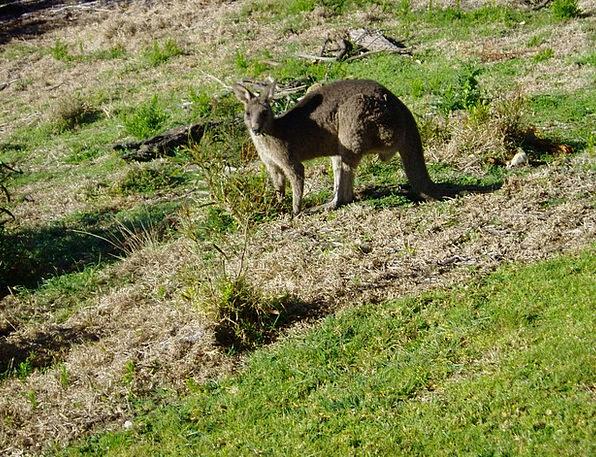 Kangaroo Jerk Marsupial Australia Tail End Kangaro