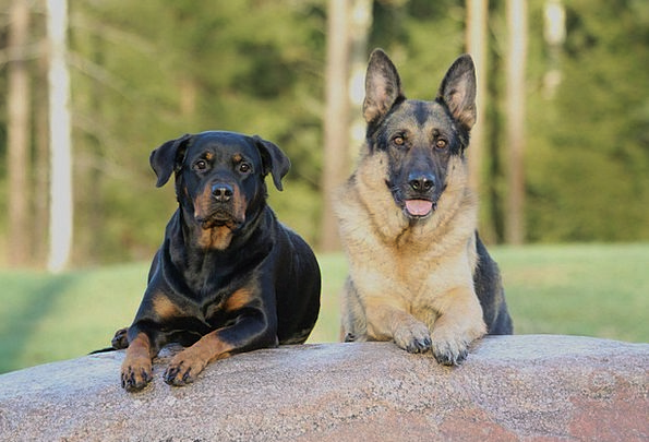 Dog Canine Canines Rottweiler Dogs German Shepherd Pixcove