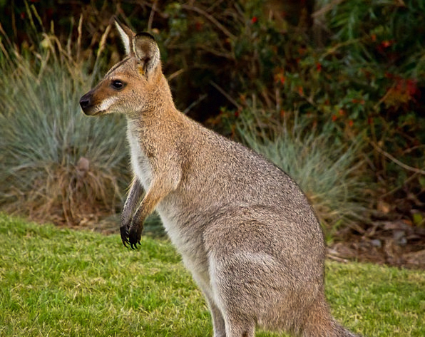 Wallaby Animal Physical Marsupial Australia Mammal
