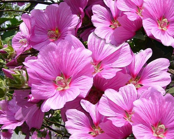 Pink Mallow Flowery Plants Florae Floral Botany Na