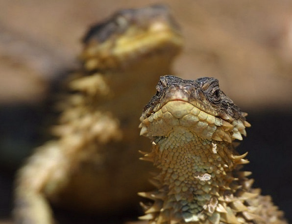 Lizard Iguana Reptile Nature Dragon Animal Creatur