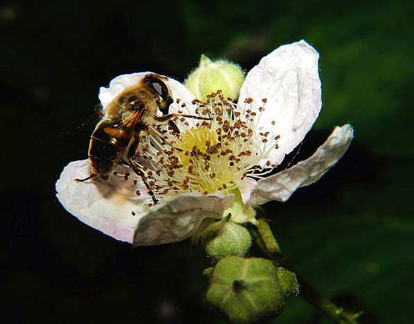 Flower Floret Snowy Bee White Pollination Fertiliz