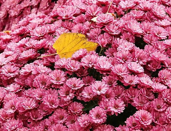 Gerbera Plants Pink Flushed Flowers Flower Bed Moo