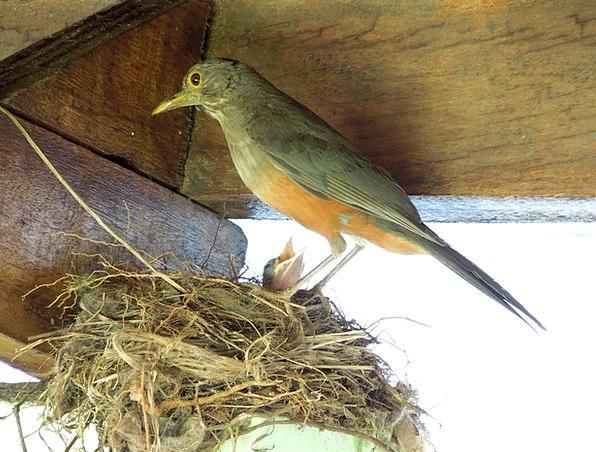 Thrush Bird Fowl Birdie Nest Shell Baby Bird Chick
