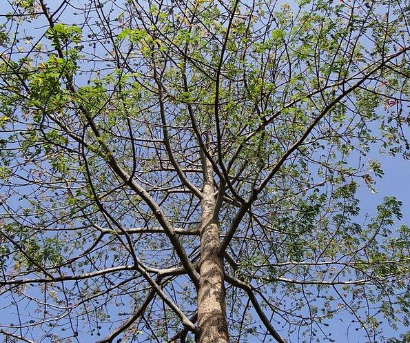 Bombax Ceiba Silk Cotton Shimul Tree Sapling Hubli
