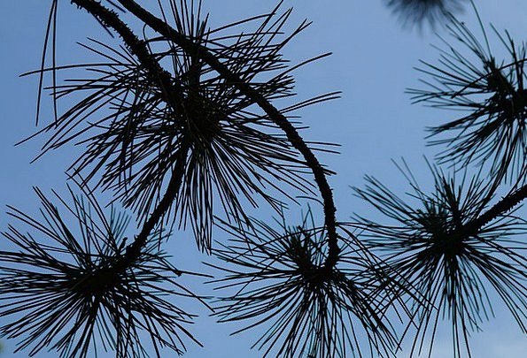 Branch Division Needles Pointers Pine Needles Pine