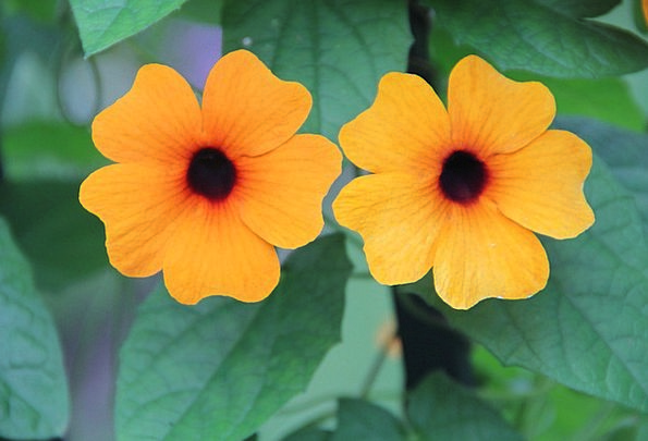 Black Eyed Susan Summer Straw-hat Thunbergia Alata
