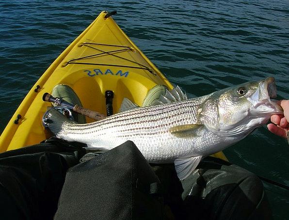 Fishing Angling Fish Angle Striped Bass Kayak Fish