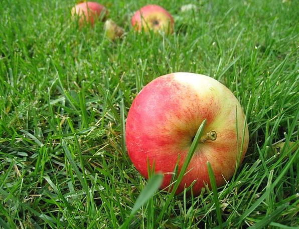 Apples Lawn Fall Fruit Grass Green Lime Summer Tim