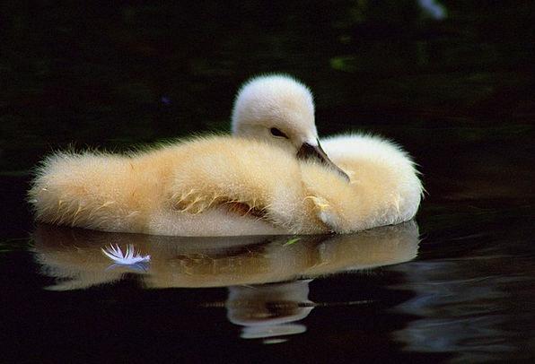 Chicks Chickens Stoop Water Aquatic Duck Water Bir