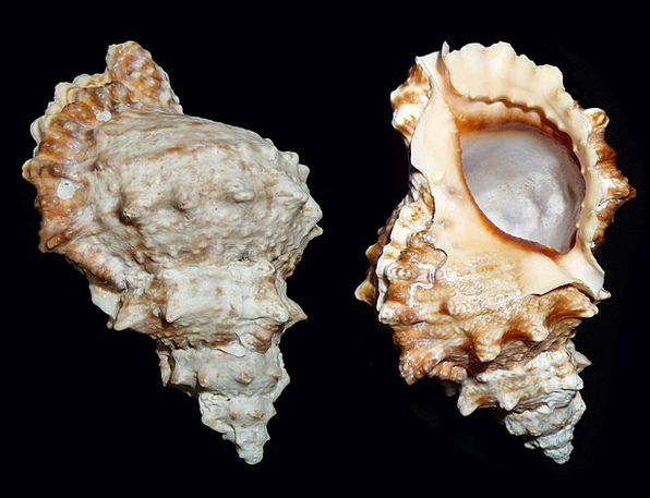 Sea Snail Tutufa Bufo Snail Caenogastropoda Of Unc