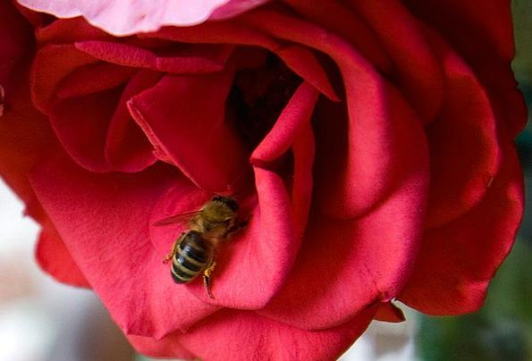 Bee Physical Rose Design Animal Flower Floret Red