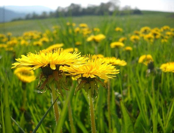 Dandelion Field Yellow Creamy Meadow Wildflowers W