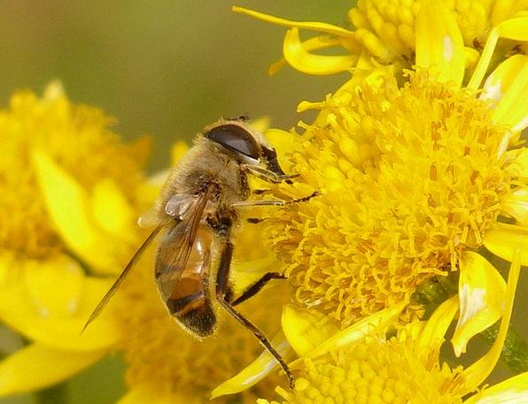 Mist Bee Landscapes Nature Eristalis Tenax Mud Bee