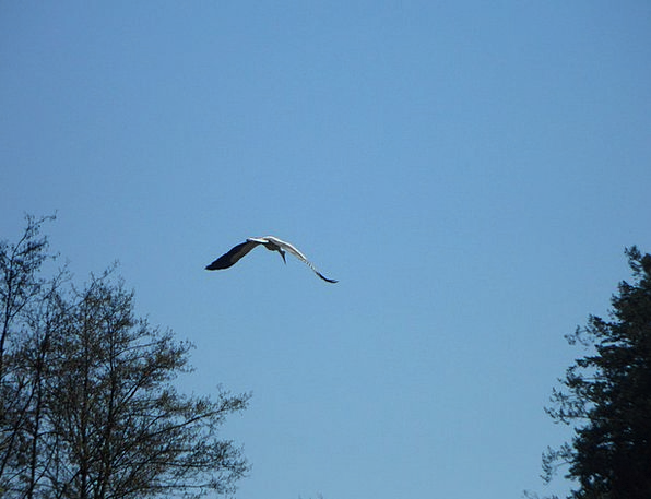 Stork Hover Bird Fowl Fly Sky Blue Migratory Bird
