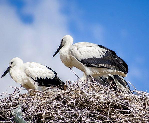 Stork Nest Shell White Stork Bird Fowl Sky Birds P