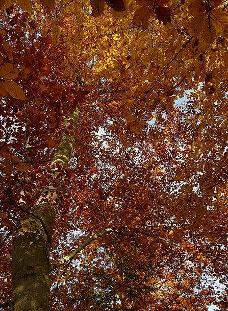 Beech Landscapes Nature Fagus Fagus Sylvatica Leav