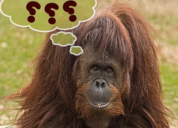 Primate Archbishop Ape Orang Utan Monkey Furry Exp