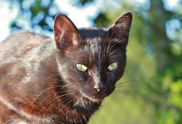 Cat Feline Domesticated Black Cat Pet Hair Cat Fac