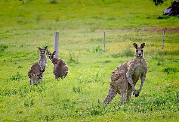 Kangaroo Jerk Macropus Giganteus Australia Eastern