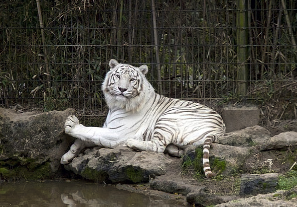 Tiger Snowy Zoo Menagerie White Reclining Cat Carn