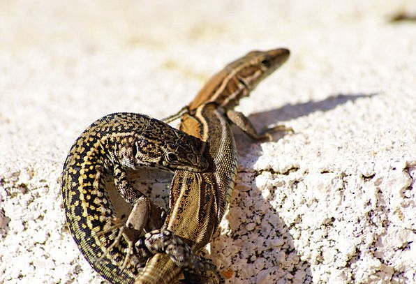 Lizards Landscapes Nature Cold Blooded Animals Rep