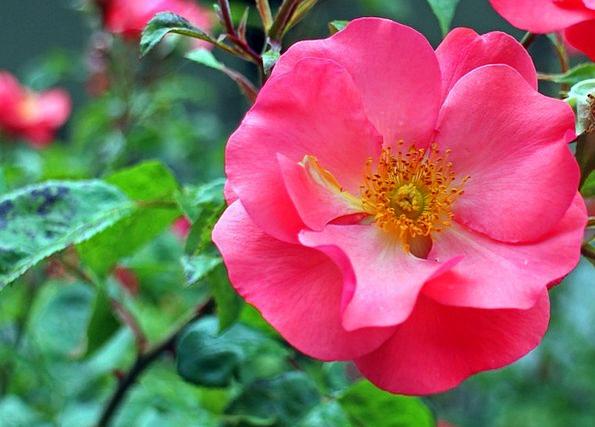 Rose Design Landscapes Floret Nature Red Bloodshot