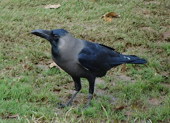 Bird Fowl Corvus Splendens Indian House Crow Wild