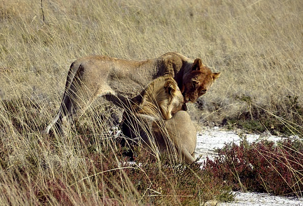 Lion Faunae Safari Trek Animals Affection Love Nam