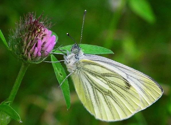 Butterfly White Snowy Brimstone Fly Wildlife Natur