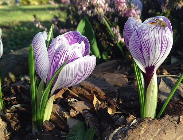 Crocus Insect Bug Early Bloomer