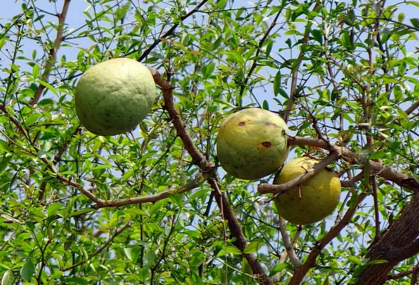 Aegle Marmelos Drink Food Bael Wood Apple Bilva Be