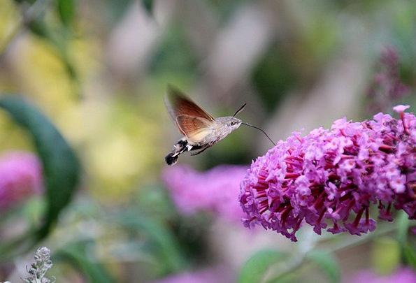 Hummingbird Hawk Moth Animal Physical Butterfly Wi