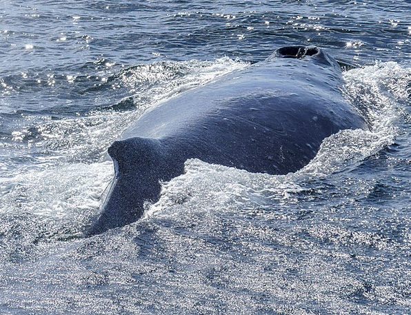 Humpback Whale Landscapes Spinal Nature Diving Hea