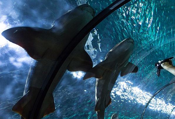 Shark Swindler Fish Tunnel Hai Underwater Submerge