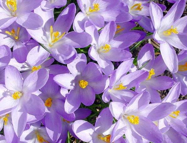Crocus Landscapes Floret Nature Spring Coil Flower
