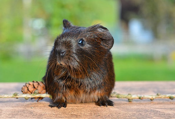 Guinea Pig Domesticated Nager Pet Rodent Animal Cu