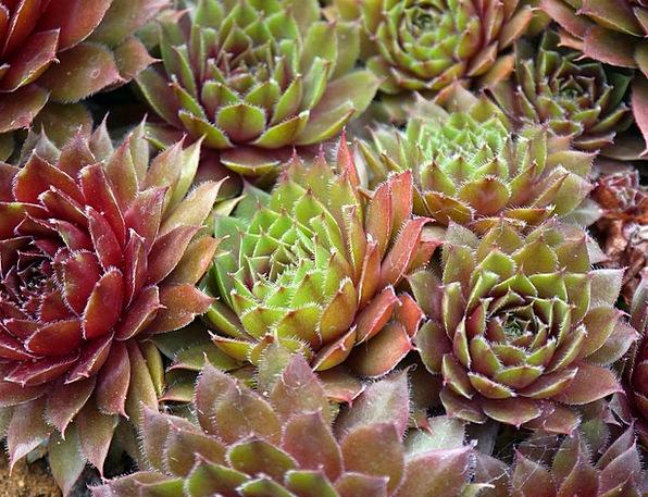 Succulents Flowery Plants Florae Floral Botany Nat