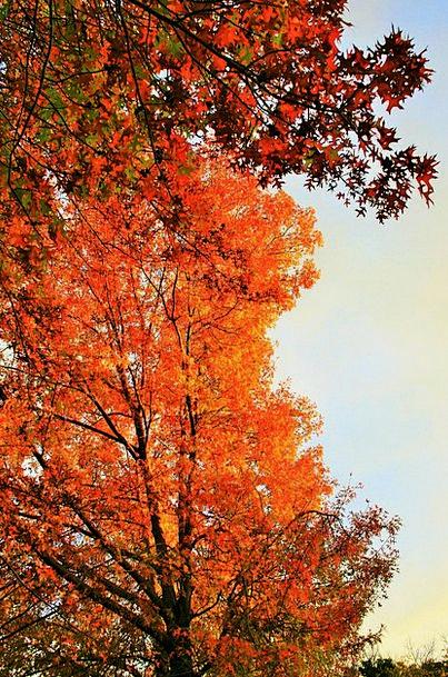Autumn Tree Sapling Orange Carroty Tree Golden Exc