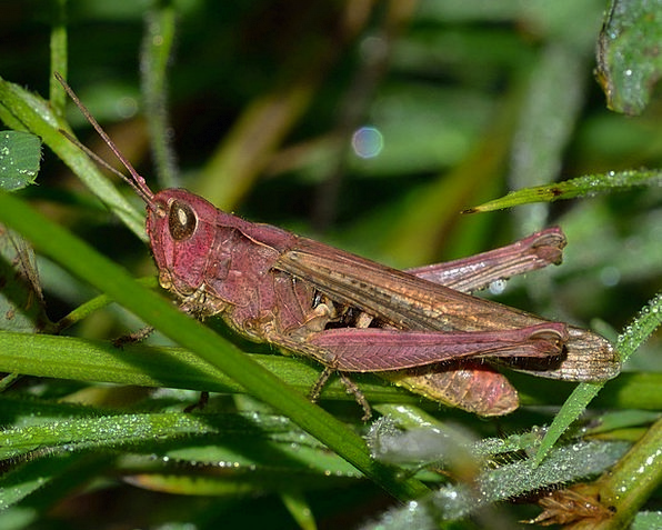 Grasshopper Insects Bugs Orthoptera