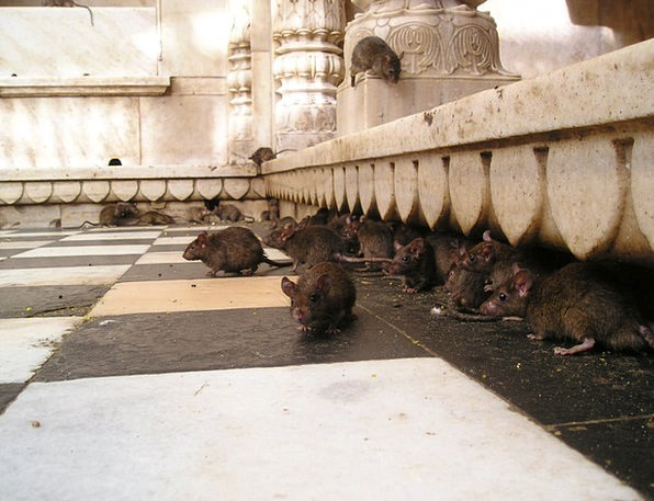 India Rat Swine Rat Temple Holy Consecrated