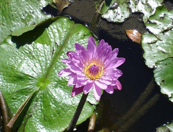 Water Landscapes Nature Flower Floret Lily Flora V